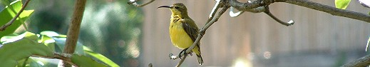Backyard female urban Sunbird