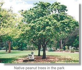 Native peanut trees in the park
