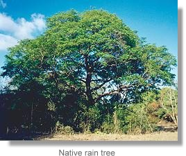 Native rain tree (Terminalia sericarpa)